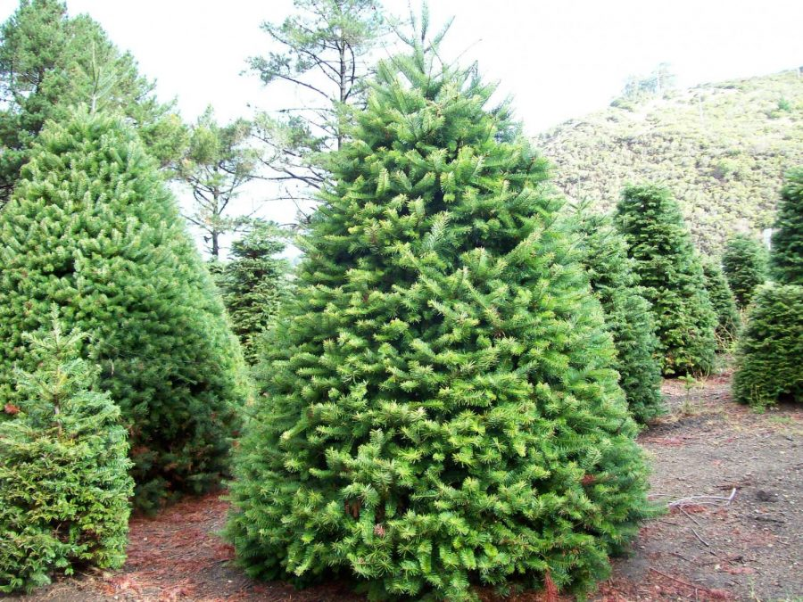 Rise in Cost of Christmas Trees