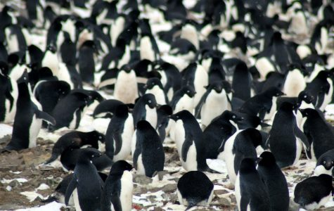 Isolated 'Supercolony' of 1.5 Million Penguins