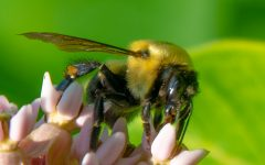 BEEs going extinction