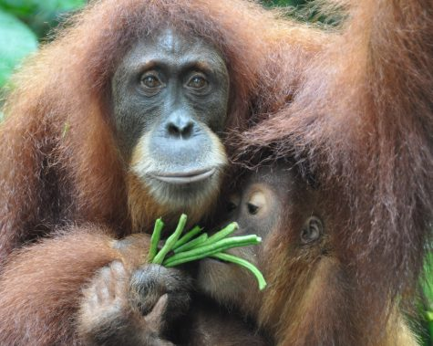 Orangutans are the fourth most endangered animal in the world.