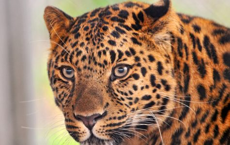 In 2007, only 19-26 wild leopards were estimated to still be alive.