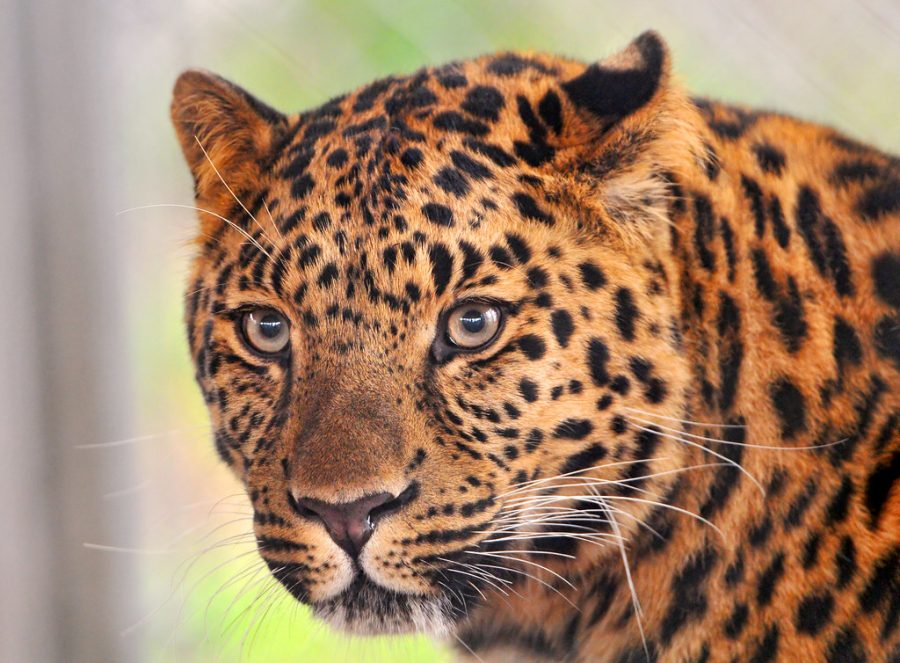Amur Leopard facing Extinction