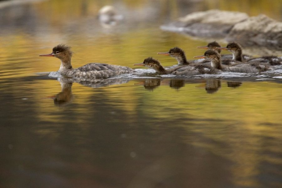 A family of ducks swim across one of the many rivers that inhabit The Arctic Refuge