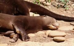 Bakairi, a male otter at zoo atlanta, sleeping.