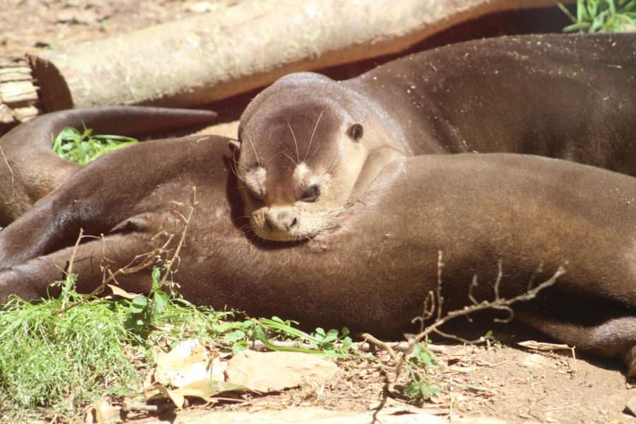 Tocantins, a female giant otter, sleeping on Bakairi, a male giant otter, at zoo atlanta